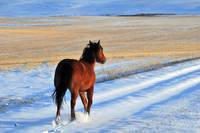 Snow Boogie, horse running in snow.