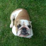 """Norma the English Bulldog"" by dogscatskidslife"
