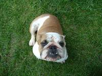 Norma the English Bulldog