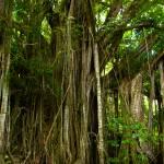 """Bora Bora Banyan Tree"" by benjaminclarkphotography"