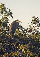 Louisiana Blue Heron in Rookery