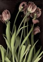 Antique Tulips
