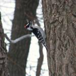 """Downy Woodpecker"" by naturephotos"