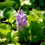 """Water Hyacinth"" by naturephotos"