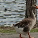 """""""geese"""" by mooreluv_2000"""