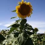 """Columbia Valley Sunflower"" by Photofish7"