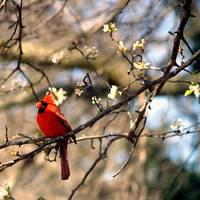 Cardinal Anticipating Spring