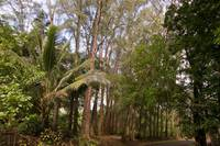 Tropical Pine Forest