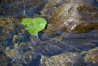 Green Leaf in Water 7