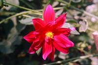 a simple red flower