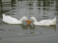 Love Ducks