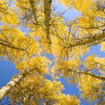 """Skyward Aspens"" by markeloperphotography"