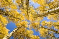 Skyward Aspens