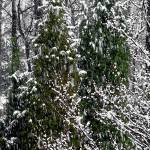 """Pine Trees during Snow"" by shana"