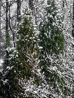 Pine Trees during Snow