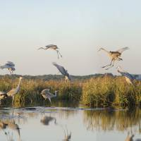 """Sandhill Cranes Fill Pond"" by Sally Kuyper"