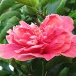 """""""Cayenna Rosa"""" by SmokedIronMade"""