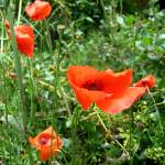 """poppies"" by emilymcalpine"