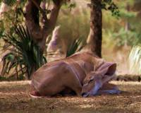 Greater Kudu Sleeping