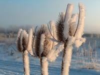 Winter Thistle