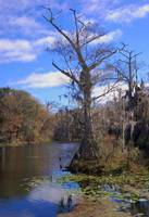 River Cypress Tree