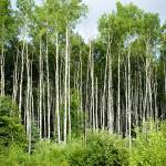 """""""white poplars"""" by realmoments"""