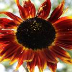 """Red sunflower..."" by dhuber"