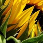 """Late-season sunflower 4"" by dhuber"