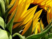 Late-season sunflower 4