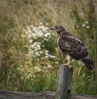 Hawk with Flowers