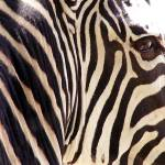 """Zebra Art - A Zebra Head Study"" by JMcQ"