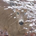 """""""Curious deer"""" by Joesart"""