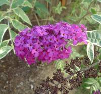 Purple Buddleia