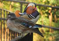 Mandain Ducks - Male and Female