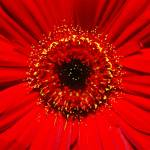 """Red Gerbera"" by PaulTruckel"