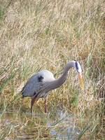A Great Blue Heron Fishing