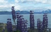 Lupine Overlooking the Bay