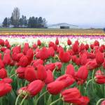 """Tulip Fields, Mt. Vernon, Wa"" by Photofish7"