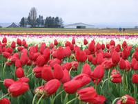 Tulip Fields, Mt. Vernon, Wa