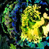 Colored Kale 6 Yellow and Blue