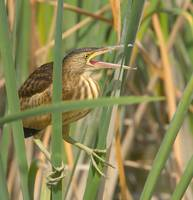 Martinet menut, Avetorillo, Little bittern, Ixobry