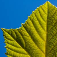 leaf backlit Art Prints & Posters by Rob Gibson