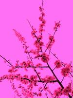 Spring Blossom in Pink