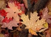 Fallen Maple Leaves