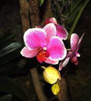 Pink & White Phalaenopsis Orchid