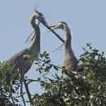 """Herons Build a Nest"" by kphotos"