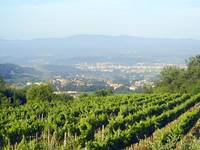 Vineyard in Chianti Hills