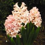 """Pink Hyacinths"" by naturephotos"
