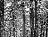 Black & White trees in snow