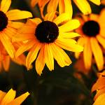 """""""Yellow Bursts"""" by claytonbruster"""